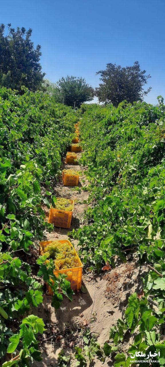 گزارش تصویری/ برداشت انگور و تهیه کشمش انگوری و تیزابی و دوشاب در شهرستان ملکان