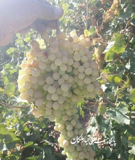 افت قیمت انگور ملکان در سایه بی تدبیری مسئولین و جولان دوباره دلالان!