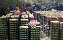 آغاز فصل برداشت سیب در شهرستان مراغه