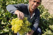 گزارش تصویری اخبار ملکان از برداشت انگور در شهرستان ملکان