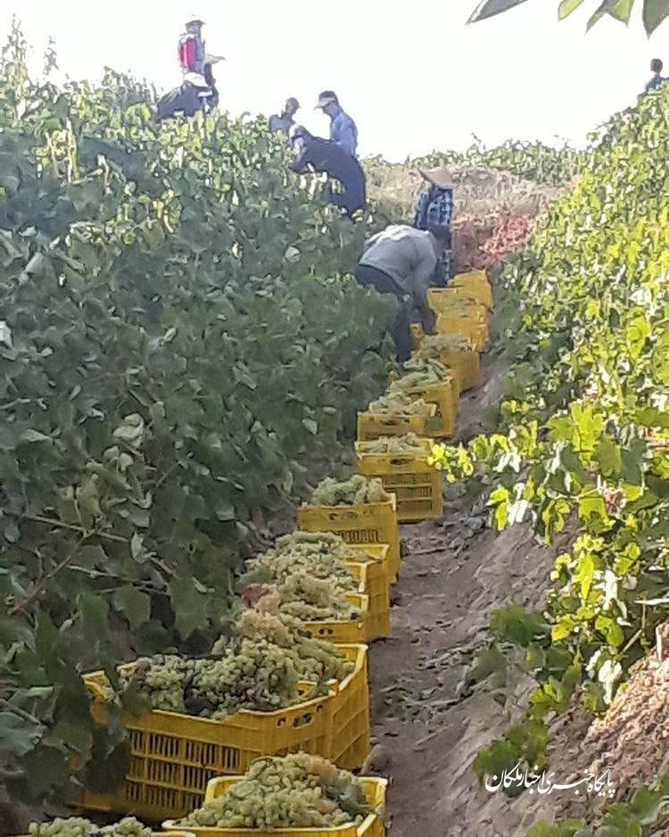 آغاز فصل برداشت انگور در شهرستان ملکان و تلاش دلالان جهت پایین آوردن قیمت کشمش!