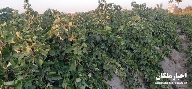آغاز برداشت انگور از باغات شهرستان ملکان/پیش بینی کاهش ۷۰ درصدی محصول